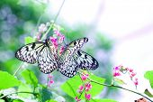 A pair of Paper Kite butterfly ''Idea leuconoe ''  enjoying nectar from tropical flower