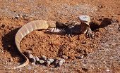 image of goanna  - A very big lizard digging a hole in the red sand of australia - JPG