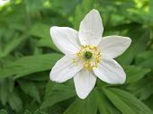 foto of windflowers  - Single flower of windflower closeup against fresh green background - JPG