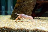 picture of craw  - Craw fish walking on the aquarium sand - JPG