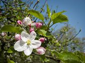 picture of apple orchard  - An image of a beautiful apple blossom - JPG