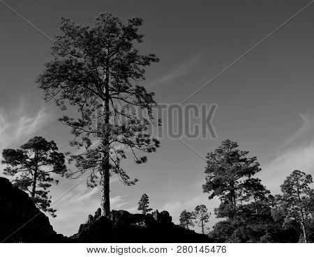 Large Pines Black And White
