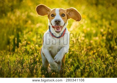 poster of Beagle Dog Fun On Meadow In Summer Outdoors Run And Jump Towards Camera