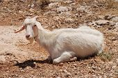A white horned goat laying in a field at Kania on the Greek island of Halki.