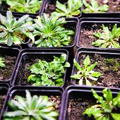 Scientific laboratory growing arabidopsis. selection for transgenic plant