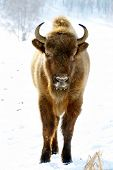 close-up portrait of wild bison in winter