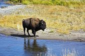 Bison on a watering place in well-known Yellowstone national park in USA poster