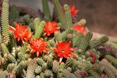 A dwarfish garden cactus with bright red flowers