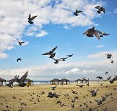 The flight pigeons was flied on sand of a beach to peck a forage