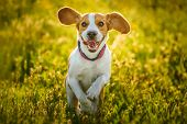 Beagle Dog Fun On Meadow In Summer Outdoors Run And Jump Towards Camera poster