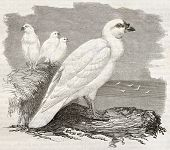 Snowy Sheathbill old illustration (Chionis albus). Created by Kretschmer and Illner, published on Me