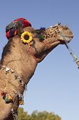 Camel Wearing A Turban