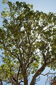 pic of stagecoach  - desert tree - JPG