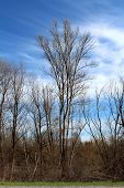 Tall Old Tree Without Any Leaves Soaring Above Smaller Trees And Other Dry Forest Vegetation Next To poster