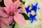 Pink Poinsettia Flower...