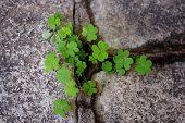 Clovers Growing From Rock Cracks