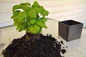 Basil Plant ( Ocimum Basilicum )