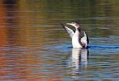 picture of loon  - Juvenile common loon stretching his wings - JPG