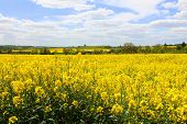 Oil Seed Rape Field 1