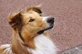 stock photo of sheltie  - sheltie collie dog being attentive and alert - JPG