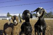 pic of nubian  - Three humorous nubian goats mug for the camera - JPG