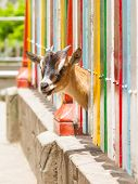 pic of pygmy goat  - Brown goat looking through a colorful fence - JPG