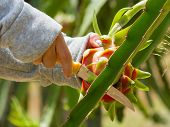 pic of woman dragon  - Woman harvesting a ripe dragon fruit from a cactus - JPG