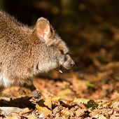Close-up Of A Yawning Parma Wallaby