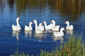 Gaggle Of Domestic Geese Swimming In Pond