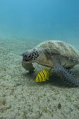 single sea turtle with yellow exotic fish on the bottom of red sea in egypt