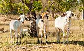 Three cows beef cattle onfarm