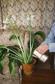 Amazonian Lily
