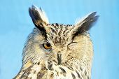 picture of screech-owl  - Winking owl against the sky and grid - JPG