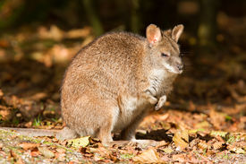 pic of tammar wallaby  - Close - JPG