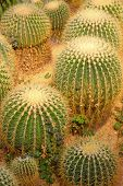 Cactus Plants In A Garden