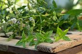 stock photo of peppermint  - peppermint plants on the old wooden desk - JPG