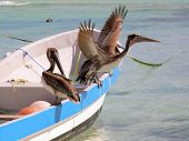 Pelicans On The Hunt