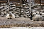 stock photo of suffolk sheep  - Two different colored rams laying on the ground