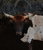 stock photo of longhorn  - One of our Longhorn cows out in the pasture on our small ranch - JPG