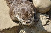 Head of Otter