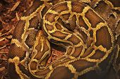 pic of jungle snake  - Close up of the bright - JPG
