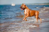 american staffordshire terrier dog playing on the beach
