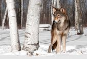 Grey Wolf (Canis lupus) Stands In Treeline With Birch Tree