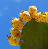 Cactus fruits, opuntia on blue sky background,fresh colorful cactus fruits on a blue background