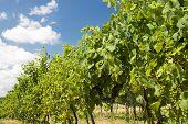 Grape Garden In The South Moravia
