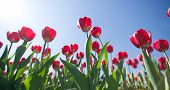 Tulips On A Background Of Blue Sky