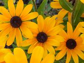foto of black-eyed susans  - A close - JPG
