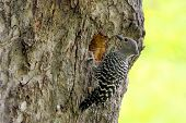 Buff-rumped Woodpecker Meiglyptes Tristis