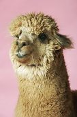 picture of alpaca  - Closeup of an Alpaca against pink background - JPG