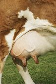 Extreme closeup of brown cow's udder